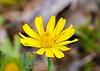 Lapsana communis (Nipplewort)