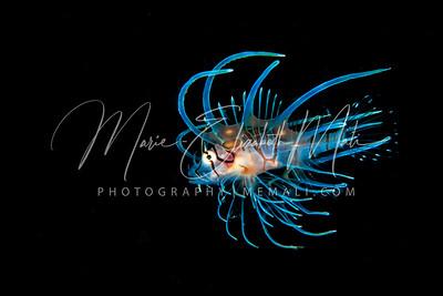 Juvenile Zebra Lionfish