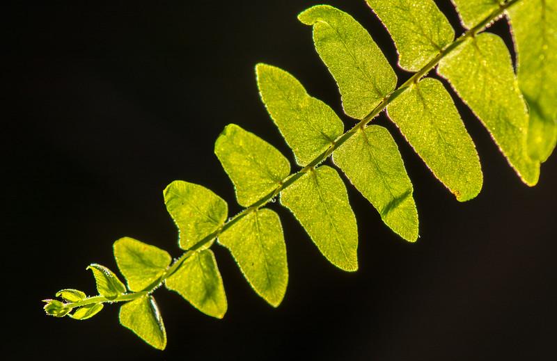 Fern Leaf in Morning Sun 4/10/16
