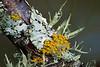 Winter Tree Lichen