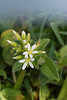 Cerastium semidecandrum (Little Mouse-Ear Chickweed)