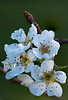 Pear Blossoms. 16x Stack with Nikon D800E, 200mm Micro-Nikkor @ f11 & Stackshot.