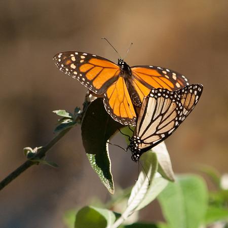 Monarch Courtship