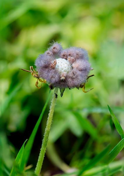 Arctotheca calendula (Cape Daisy) Seedhead