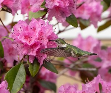 Hummingbird_00640