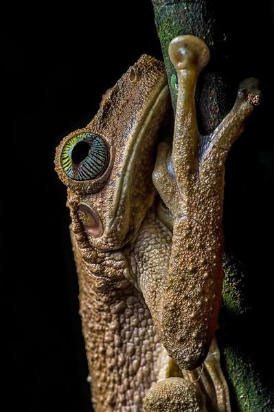 Gladiator Frog 2