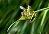 Agapanthus praecox