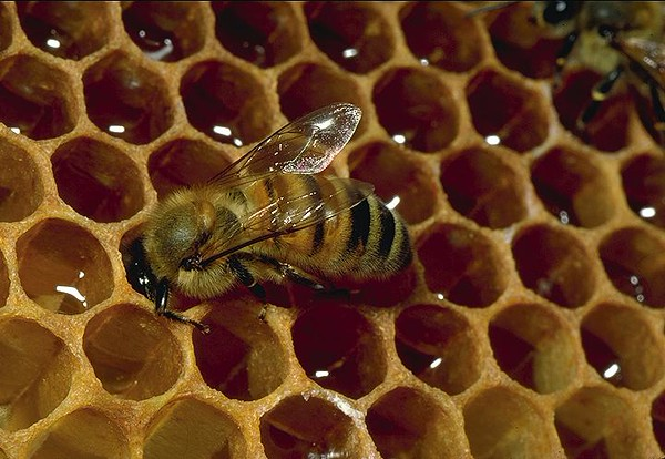 Bee drinking honey