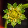 A Strawberry Bud in the Rain 7/31/16