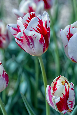 Red & White Verticle Wicked Tulips_3575