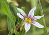 Sisyrhinchium iridifolium (Blue-eyed Grass)