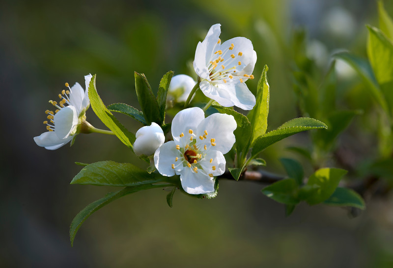 Plum Blossoms. 25x stack with Nikon D800E, 200mm Micro-Nikkor @f11 & Stackshot