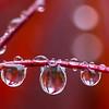 Rain Droplets on a Japanese Maple Tree 5/1/16