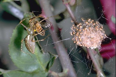 Lynx spider with bee and hatching spiderlings