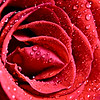 Macro Close up Rose