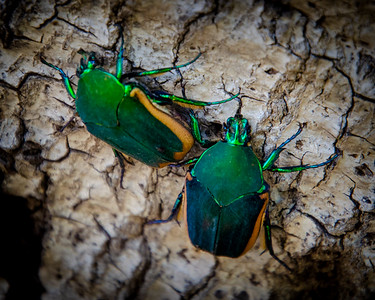 Metallic Green Fig Beetle
