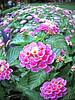 Bicentennial garden Lantana