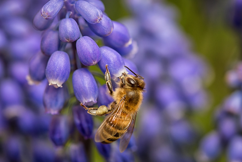 Buzzing' in the grape hyacinth.