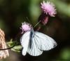 sommerfugl ps-033 Rapssommerfugl