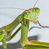 Praying Mantis 10/19/16