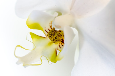 Orchid, white, from above