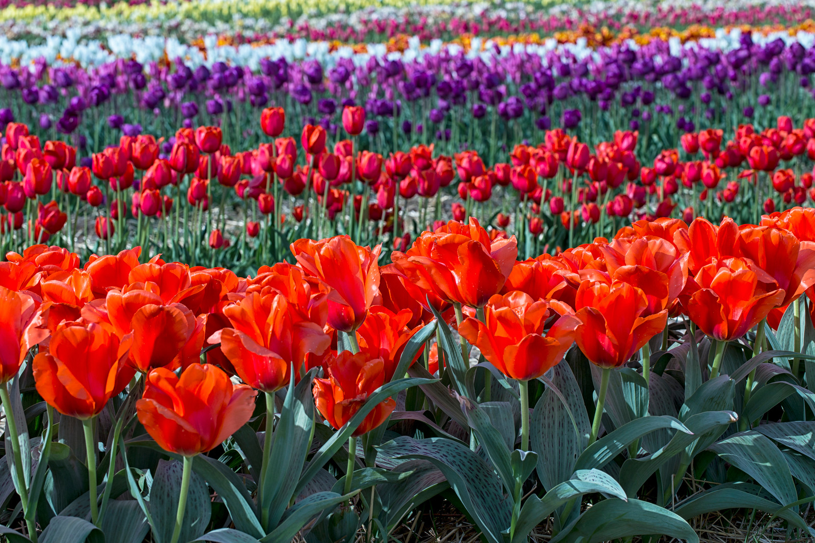 Rows of Wicked Tulips_3564
