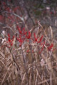 Winter Berries: Empire, Michigan