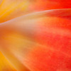 Tulip Macro<br /> © Sharon Thomas