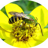 green and yellow hornet