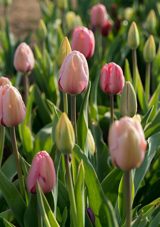 Delicate Pink Wicked Tulips_7652