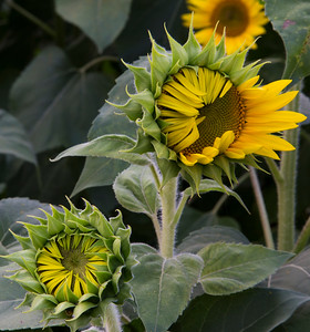 Sunflower Detail_2044