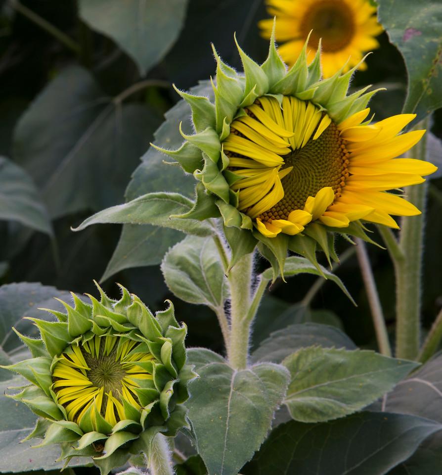 Sunflower Detail_2044