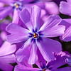 Creeping Phlox Flowers 4/17/16