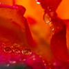 droplets on rose petals