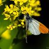 aurora sommerfugl ps-075