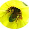 pollen hornet