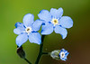 Myosotis arvensis (Field Forget-me-not)