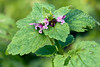 Lamium purpureum (Red Deadnettle)