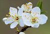 Plum Blossoms. 19x stack with Nikon D800E & 200mm Micro-Nikkor @ f16 plus Stackshot.