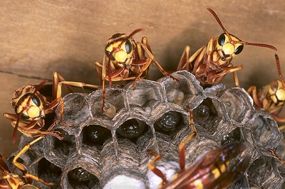 Wasp Nest with eggs & pupae