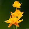 gule blomster ps-060