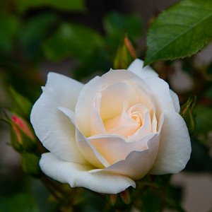 Rose Blooming