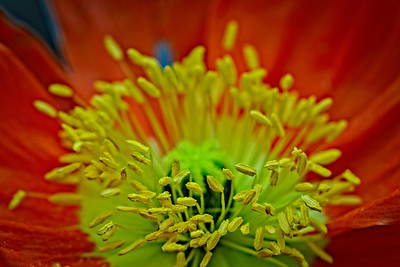center of a poppy