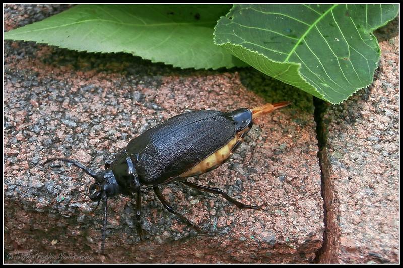 Broadnecked Root Borer Beetle