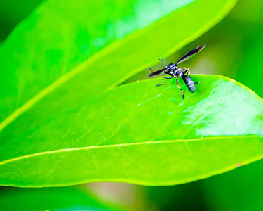 Wasp on leaf, color macro