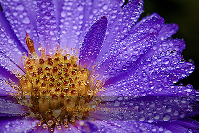 Dew on Purple Aster