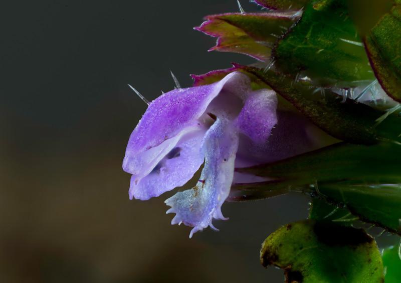 Prunella vulgaris Flower