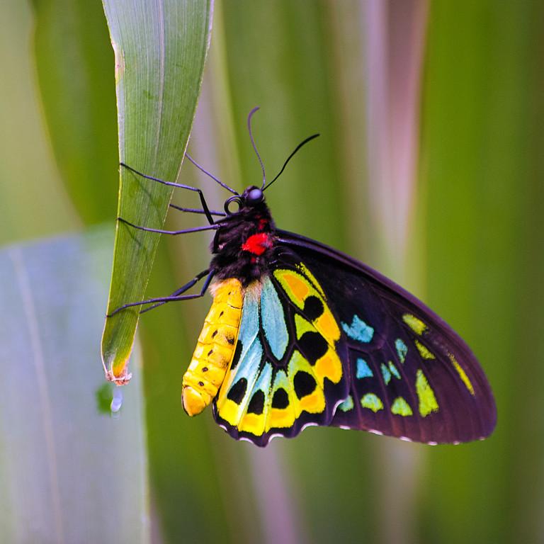 Cairn's Birdwing butterfly