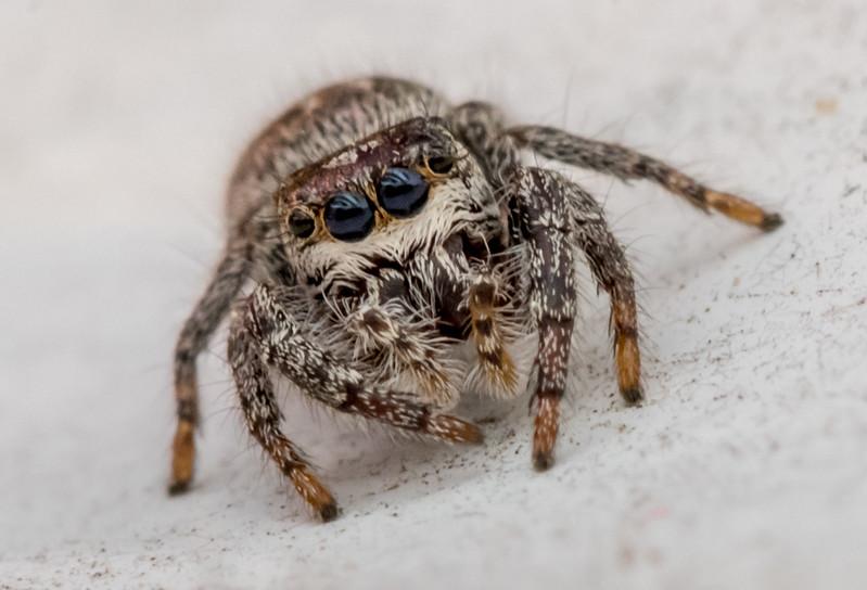 Jumping Spider 4/16/17