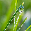 Morning Dew on Blade of Grass 10/7/16